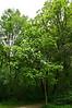 Northern Catalpa, Catalpa speciosa<br /> Family Bignoniaceae     Native to northeastern United States<br /> <br /> Secor Park, Toledo, Ohio<br /> May 31, 2012<br /> (nex5n)