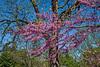 D136-2013  Redbuds<br /> .<br /> Along Geddes Avenue, near the entrance to Nichols Arboretum<br /> Ann Arbor, Michigan<br /> May 16, 2013