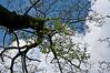 Giant spreading yellowwood just starting to leaf out.<br /> Cladrastis kentukea     Family  Fabaceae<br /> <br /> Nichols Arboretum, Ann Arbor, Michigan<br /> May 3, 2012<br /> (nex5n)