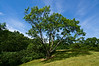 Yellowwood tree behind Juniper Hill View A<br /> <br /> Hidden Lake Gardens, Michigan<br /> May 29, 2012<br /> (nex5n)