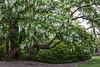 D153-2013 Yellowwood tree in full bloom<br /> .<br /> Peony Garden at Nichols Arboretum<br /> Ann Arbor, Michigan<br /> June 2, 2013 (Sunday of the weekend Peony Festival)