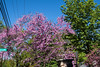 D136-2013 Redbud trees at the corner of Harvard and Geddes.<br /> <br /> Near the entrance to Nichols Arboretum<br /> Ann Arbor, Michigan<br /> May 16, 2013
