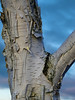 Birch tree trunk<br /> <br /> Eugene, Oregon<br /> December 22, 2010