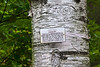 "The tag on this paper birch (or canoe birch as they are called throughout Hidden Lake Gardens) reads<br /> CANOE BIRCH<br /> Betula papyrifera<br /> Northern N. A.  Fast-growing short-lived tree sharing moist cool sites with white pine, white spruce, balsam fir, yellow birch, aspen.  Wood easily worked, used mainly for novelties.  Bark used by the Indians for utensils, canoes, wigwam covers.  Known as ""parchment of the forest,"" it should never be stripped from a living tree as this results in permanent scarring.<br /> <br /> Hidden Lake Gardens, Tipton Michigan<br /> September 21, 2011"