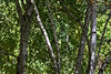 A small grove of paper birch (aka canoe birch).<br /> <br /> Hidden Lake Gardens, Tipton Michigan<br /> September 21, 2011