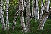 Birch grove near the picnic area.<br /> <br /> Hidden Lake Gardens, Tipton Michigan<br /> September 21, 2011