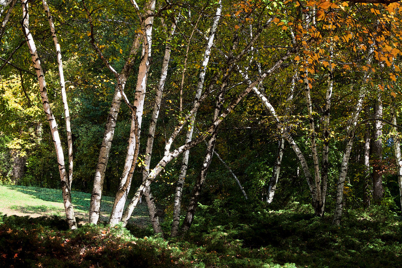 Birch trunks and maple leaves in autumn