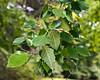 River Birch (Betula nigra)<br /> Native to:  east central North America<br /> <br /> Foliage detail.<br /> <br /> Toledo Botanical Gardens,<br /> September 9, 2011