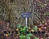 River Birch (Betula nigra)<br /> Native to:  east central North America