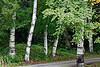 Paper birch along a woodland drive