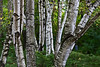 Birch trunks in autumn