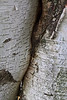 Canoe birch or paper birch, exhibiting conjoining or inosculation.<br /> <br /> At the exit from the picnic area.<br /> Hidden Lake Gardens, Tipton Michigan<br /> September 21, 2011