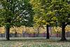 Linden trees of the Grand Allee.<br /> <br /> Toledo Botanical Garden,<br /> October, 2010.