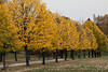 Yellow foliage on the lime trees of the Grand Allee.