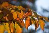 Dogwood foliage in autumn