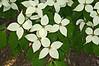 D149-2012 Cornus kousa chinensis 'Milky Way'<br /> <br /> Hidden Lake Gardens, Michigan<br /> May 29, 2012<br /> (nex5n)