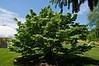 Cornus kousa chinensis 'Milky Way'<br /> <br /> Hidden Lake Gardens, Michigan<br /> May 29, 2012<br /> (nex5n)
