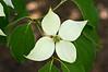Cornus kousa 'bloom'