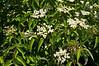 D149-2012 Red Osier Dogwood, aka American Dogwood<br /> Cornus sericea, syn. C. stolonifera, Swida sericea<br /> Family Cornaceae . . . Native to northern and western North America<br /> <br /> Toledo Botanical Garden<br /> June 6, 2012<br /> (nex5n)
