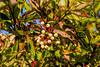 Dogwood berries - tapioca like