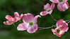 Pink Dogwood blossoms floating in air