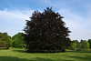 A European beech in all its glory.<br /> I have photographed this particular tree many times, from all sides and at all distances.  It is an old, dear friend.<br /> <br /> Toledo Botanical Garden, Ohio<br /> May 13, 2012<br /> (nex5n)