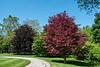 Two European beech trees