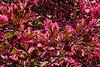 Foliage of a tri-color beech