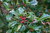 American holly or English holly - I'm not sure