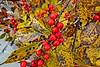 Winterberry in the Japanese Garden