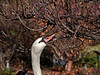 A bird that actually eats crab apples - mute swan