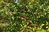 Crab Apple Crop.<br /> Kettlehole Trail.<br /> .<br /> Hidden Lake Gardens, Michigan<br /> September 17, 2012