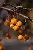 Golden yellow crabapples