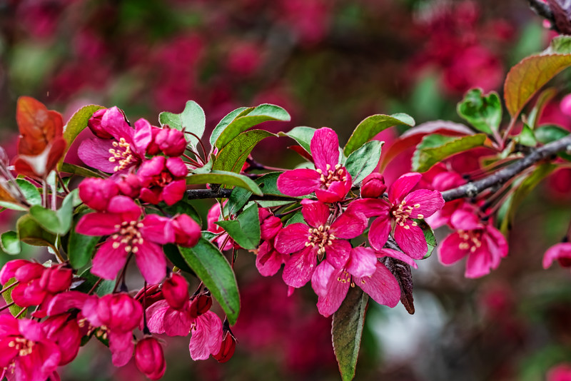 Branch of crabapple blossoms