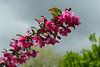 Crab apple blossoms.<br /> <br /> Matthaei Botanical Gardens