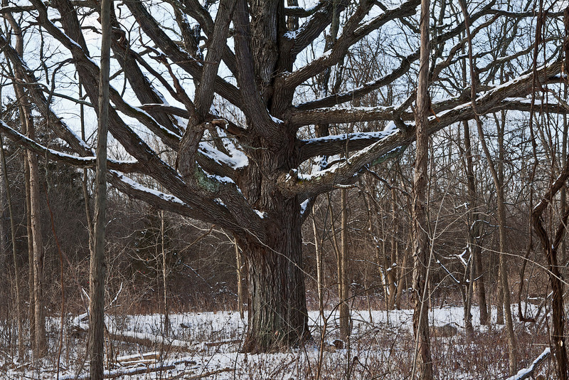 Mighty oak revisited with light snow on its branches, view F<br /> <br /> January 15, 2012