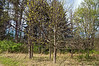 D107-2012<br /> Oak trees is spring...flowers and young leaves<br /> <br /> Nichols Arboretum, Ann Arbor<br /> April 17, 2012<br /> (nex5n)