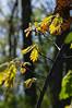 Oak trees is spring...flowers and young leaves<br /> <br /> Nichols Arboretum, Ann Arbor<br /> April 17, 2012<br /> (nex5n)
