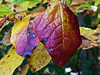 Sassafras leaves, close up.<br /> <br /> Hidden Lake Gardens, Lenawee County, Michigan<br /> October 5, 2011