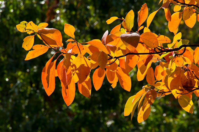 A few of the hues of sassafras in autumn