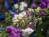 Lilac bower at Nichols Arboretum