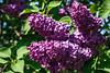 Cemetery Lilacs