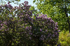 D136-2013 Lilacs in a private yard.<br /> .<br /> Along Geddes Avenue, near the entrance to Nichols Arboretum<br /> Ann Arbor, Michigan<br /> May 16, 2013