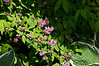 Unidentified shrub, lilac-like