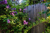 Lilacs grace a weathered fence