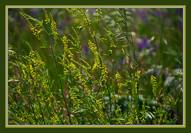 D149-2012 Summer meadow #2<br /> Yellow Sweet Clover in the meadow<br /> Grasses and alfalfa added their own summery accents.<br /> <br /> Hidden Lake Gardens, Michigan<br /> May 29, 2012<br /> (nex5n)