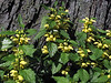 D122-2009 Yellow Archangel<br /> Lamiastrum galeobdolon (Mint Family)<br /> <br /> This plant is tolerant of everything from full sun to full shade, drought and moisture.  In other words, you can't kill it!<br /> <br /> May 2, 2009<br /> NW Ohio