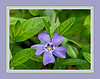 D109-2012 Vinca minor, Lesser periwinkle and Dwarf periwinkle; in the U. S. Myrtle or Creeping myrtle.  They're all names for this import from Europe which I personally consider invasive in Michigan and Ohio.  The periwinkle and myrtle common names are confusing because those names are also used for completely different species.<br /> <br /> If it was better behaved, i.e. not invasive, I'd like it better.  It's a case of being naughty but nice.<br /> <br /> Michigan<br /> April 19, 2012<br /> (nex5n)