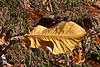 Magnoliaceae 01 04 - Bigleaf Magnolia<br /> <br /> Magnolia macrophylla; Family:  Magnoliaceae<br /> Native to:  United States and Mexico<br /> <br /> Nichols Arboretum, Ann Arbor, Michigan<br /> November 1, 2011