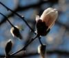 Magnoliaceae 02 05<br /> Star magnolia.  (Magnolia stellata).  Native to Japan.<br /> <br /> Inner glow...magnolia bud.<br /> <br /> April 17, 2009<br /> NW Ohio